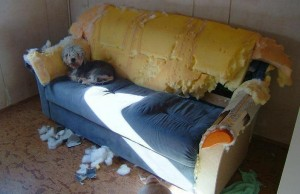 dog on torn up couch