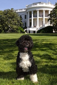 Bo-Obama-Proud-Owner-of-a-Potty-Park-Indoor-Dog-Potty.jpg