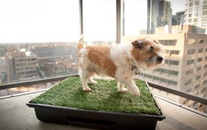 Cute-dog-on-his-Potty-Park-Indoor-Dog-Potty-Worlds-Finest-Dog-Potty