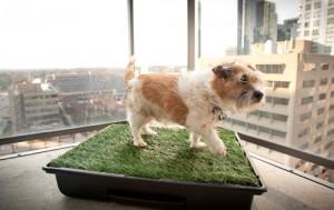 Bo Obama Proud Owner of a Potty Park, World\'s Finest Indoor Dog Potty