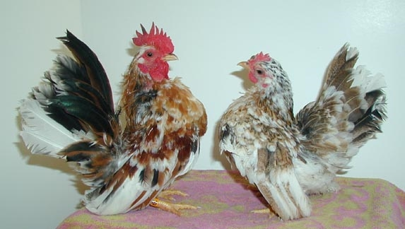 Bantam chicken size