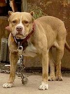 Pit Bull Preventing Dog Attacks