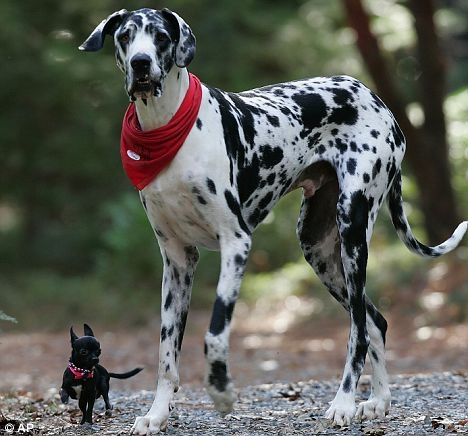 Great Dane and Chichuahua Most Destructive Dogs