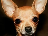 Do You Know Where Your Chihuahua is-Rescue Update