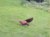 Black Pheasants and Rice Krispies