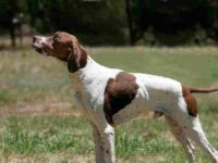 Choosing the Best Hunting Dogs