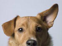 Designer Dogs An Ongoing Debate