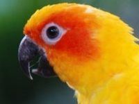 Sun Conure is not for everyone