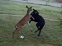 Dog vs Deer | A Very Funny Video
