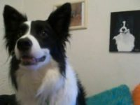 Funny Video Border Collie Samson does the Cha Cha Slide