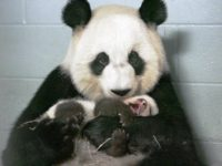 Giant Panda Birth in the Atlanta Zoo