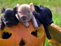 Funny Baby Pigs