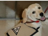 Raising a Service Puppy What does it take